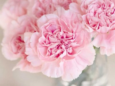 Growing carnation flowers from seed or cutting